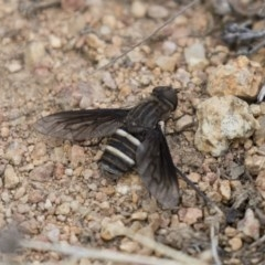 Villa sp. (genus) (Unidentified Villa bee fly) at Illilanga & Baroona - 3 Jan 2018 by Illilanga