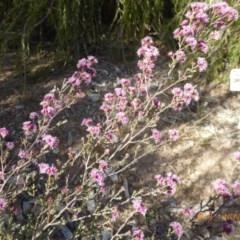 Kunzea parvifolia at Sth Tablelands Ecosystem Park - 1 Nov 2018
