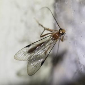 Netelia sp. (genus) at Illilanga & Baroona - 2 Oct 2018