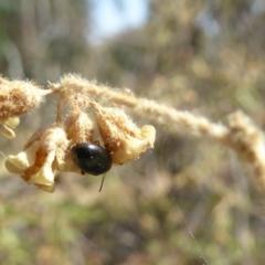 Nisotra sp. (genus) at Sth Tablelands Ecosystem Park - 1 Nov 2018