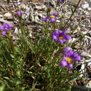 Calotis scabiosifolia var. integrifolia at Sth Tablelands Ecosystem Park - 1 Nov 2018