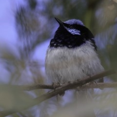 Malurus cyaneus (Superb Fairywren) at Red Hill Nature Reserve - 26 Oct 2018 by BIrdsinCanberra