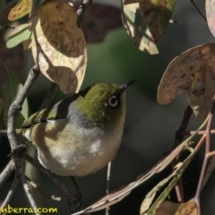 Zosterops lateralis (Silvereye) at Red Hill Nature Reserve - 26 Oct 2018 by BIrdsinCanberra