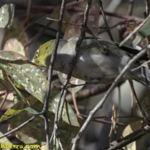 Zosterops lateralis at Red Hill Nature Reserve - 27 Oct 2018