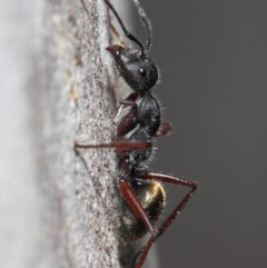 Camponotus suffusus (Golden-tailed sugar ant) at ANBG - 6 Nov 2018 by TimL