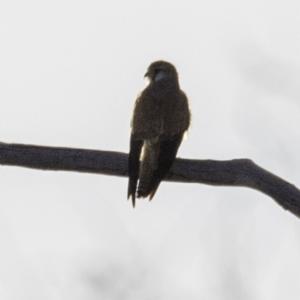 Falco cenchroides at Callum Brae - 28 Oct 2018
