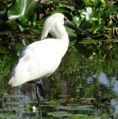 Platalea regia (Royal Spoonbill) at Commonwealth & Kings Parks - 8 Nov 2018 by JanetRussell