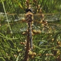 Hemicordulia tau (Tau Emerald) at Cotter Reserve - 8 Nov 2018 by JohnBundock