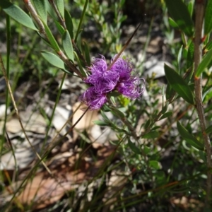 Melaleuca thymifolia at Conjola Bushcare - 9 Nov 2018