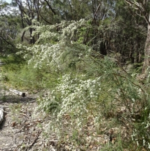 Kunzea ambigua at Conjola Bushcare - 9 Nov 2018
