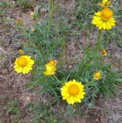 Xerochrysum viscosum (Sticky everlasting) at Black Flat at Corrowong - 8 Nov 2018 by BlackFlat