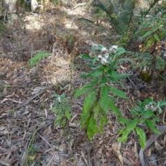 Coronidium elatum subsp. elatum (Tall Everlasting) at Conjola Bushcare - 9 Nov 2018 by Stewart