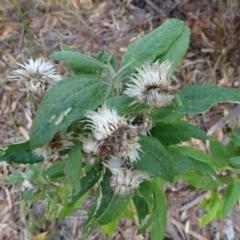 Coronidium elatum subsp. elatum at Conjola Bushcare - 9 Nov 2018