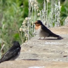 Hirundo neoxena (Welcome Swallow) at Commonwealth & Kings Parks - 8 Nov 2018 by JanetRussell