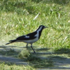 Grallina cyanoleuca (Magpie-lark) at City Renewal Authority Area - 9 Nov 2018 by AndyRussell