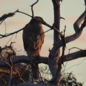 Accipiter fasciatus at Red Hill Nature Reserve - 10 Nov 2018