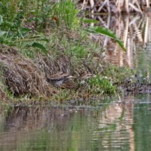 Gallinago hardwickii at Jerrabomberra Wetlands - 10 Nov 2018