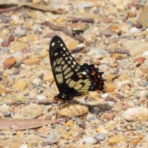 Papilio anactus at ANBG - 24 Oct 2018