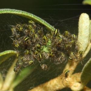 Araneidae sp. (family) at ANBG - 23 Oct 2018