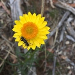 Eleale simplex (Clerid beetle) at Hughes Grassy Woodland - 10 Nov 2018 by KL