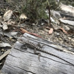 Amphibolurus muricatus (Jacky Lizard) at Paddys River, ACT - 10 Nov 2018 by JasonC