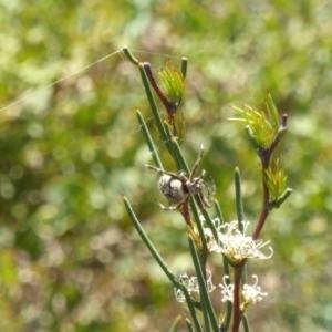 Backobourkia sp. (genus) at Molonglo Valley, ACT - 11 Nov 2018
