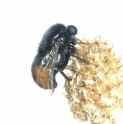 Pterodontia mellii (Hunchback Fly, Small-headed Fly) at Lyons, ACT - 11 Nov 2018 by RobynS