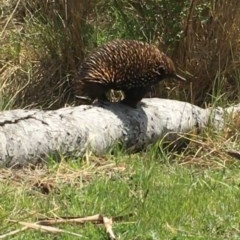 Tachyglossus aculeatus (Short-beaked Echidna) at Black Flat at Corrowong - 26 Oct 2018 by BlackFlat