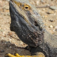 Pogona barbata (Eastern Bearded Dragon) at ANBG - 25 Oct 2018 by Tim L