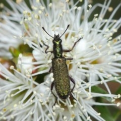 Eleale aspera (Clerid beetle) at ANBG - 10 Nov 2018 by TimL