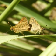 Ocybadistes walkeri (Greenish Grass-dart) at Kambah, ACT - 11 Nov 2018 by MatthewFrawley