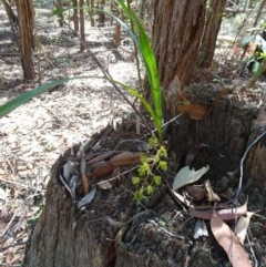 Cymbidium suave (Snake Orchid, Boat Lip Orchid) at FS Private Property - 11 Nov 2018 by Stewart
