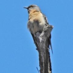 Cacomantis flabelliformis (Fan-tailed Cuckoo) at Brindabella National Park - 12 Nov 2018 by JohnBundock