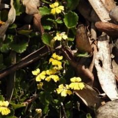 Goodenia hederacea subsp. alpestris at Tidbinbilla Nature Reserve - 11 Nov 2018 by JohnBundock