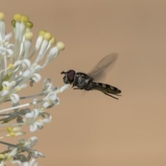 Melangyna sp. (genus) (Hover Fly) at Higgins, ACT - 23 Oct 2018 by Alison Milton