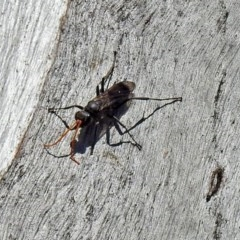 Pompilidae sp. (family) (Unidentified Spider wasp) at Namadgi National Park - 11 Nov 2018 by RodDeb