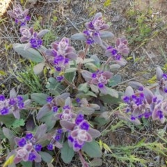 Ajuga australis (Austral Bugloss) at Black Flat at Corrowong - 11 Nov 2018 by BlackFlat