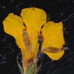 Goodenia bellidifolia subsp. bellidifolia (Daisy Goodenia) at South Pacific Heathland Reserve - 29 Nov 2016 by NicholasdeJong