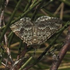 Chrysolarentia argocyma (White-waved Carpet) at Namadgi National Park - 12 Nov 2018 by JohnBundock