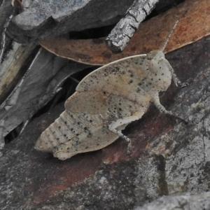 Goniaea australasiae at Namadgi National Park - 13 Nov 2018