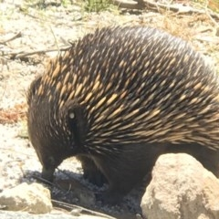Tachyglossus aculeatus (Short-beaked Echidna) at ANBG - 12 Nov 2018 by PeterR
