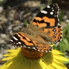 Vanessa kershawi (Australian Painted Lady) at ANBG - 12 Nov 2018 by PeterR