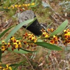Daviesia mimosoides subsp. mimosoides at Namadgi National Park - 13 Nov 2018 by JohnBundock