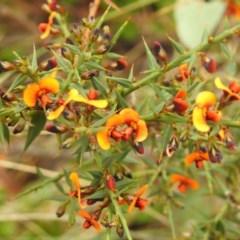 Daviesia ulicifolia subsp. ruscifolia at Namadgi National Park - 13 Nov 2018 by JohnBundock