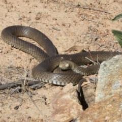 Pseudonaja textilis (Eastern Brown Snake) at Michelago, NSW - 11 Nov 2018 by Illilanga