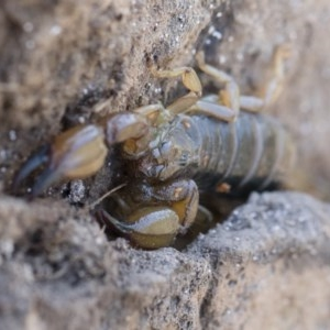 Urodacus manicatus at Illilanga & Baroona - 12 Nov 2018
