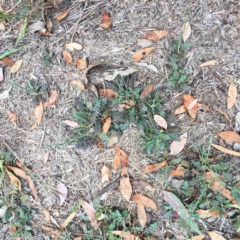 Chondrilla juncea (Skeleton Weed) at Hughes Garran Woodland - 13 Nov 2018 by ruthkerruish