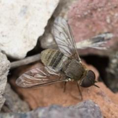 Villa sp. (genus) (Unidentified Villa bee fly) at Illilanga & Baroona - 9 Nov 2018 by Illilanga