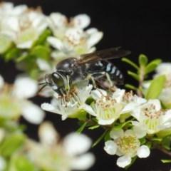 Bembix sp. (genus) at ANBG - 12 Nov 2018