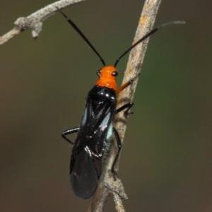 Miridae sp. (family) at Acton, ACT - 10 Nov 2018